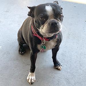 Moxie - Shop Dog