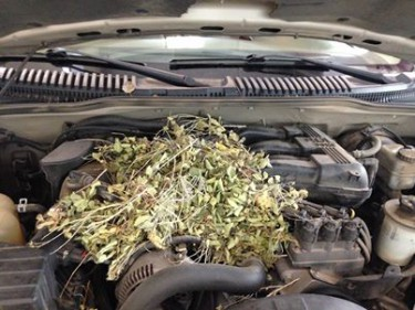 Rodent's nest found under the hood